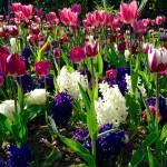 Le migliori fioriture di tulipani in Italia